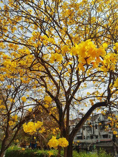 Yellow flowering tree in autumn