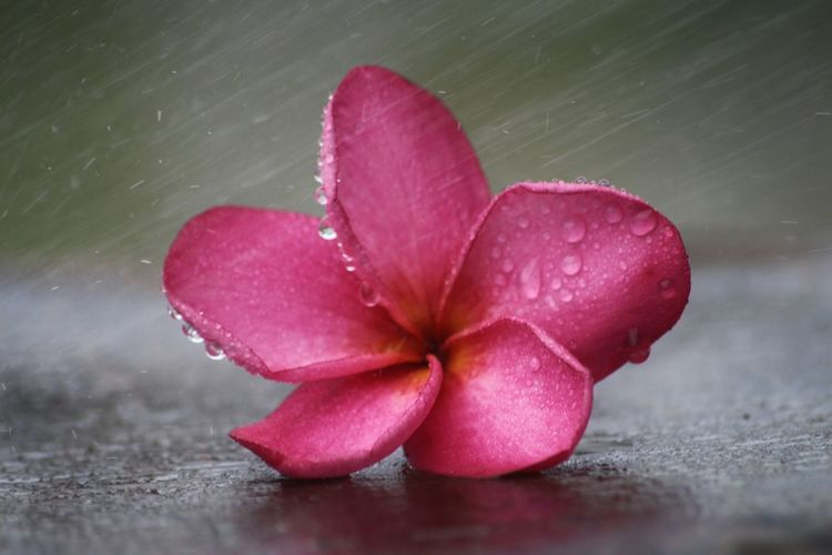 Close-up of wet pink flower in rainy season