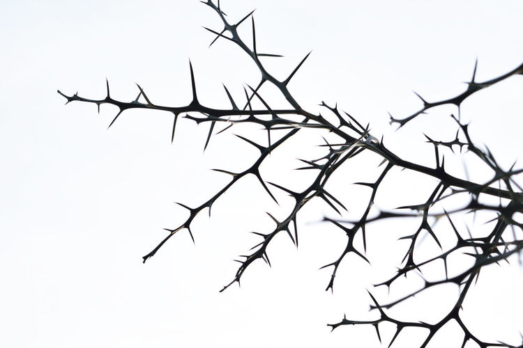 thorns on white sky Bare Tree Botanical Gardens Botany Branch Dry Garden No People Plants Thistle Thorn Trees
