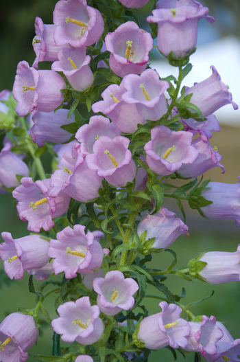 Growing beautiful bell flowers Growth Natural Pink Bell Flower Plant Planting Beauty In Nature Bell Flowers Bells Blooming Close-up Day Flower Flower Head Fragility Fresh Freshness Growth Nature Nectar No People Outdoors Petal Plant Pollen