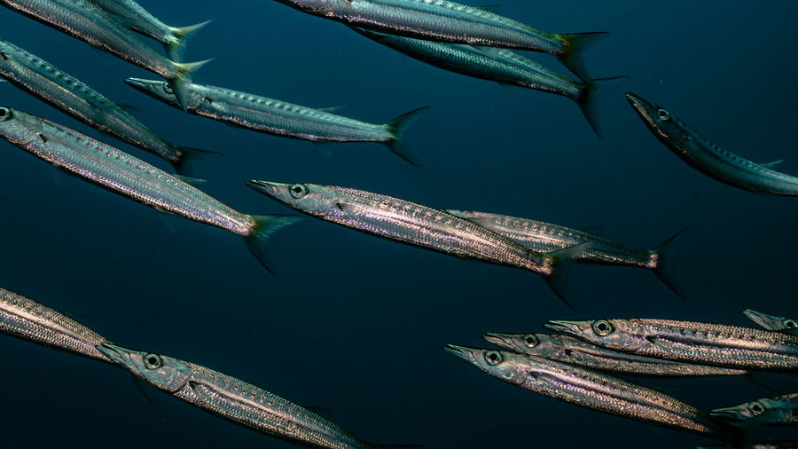 Low angle view of barracuda fishes in sea