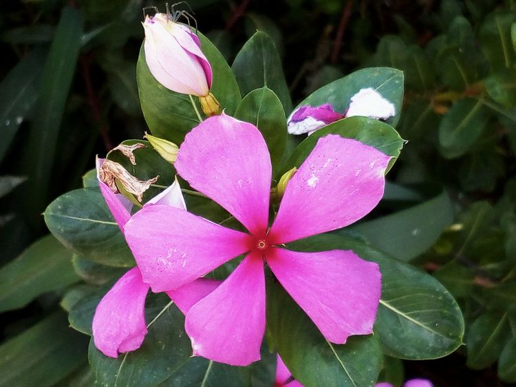 Flower Pink Color Beauty In Nature Nature Day Growth Flower Head Outdoors No People Leaf Fragility Plant Close-up Freshness Periwinkle mn