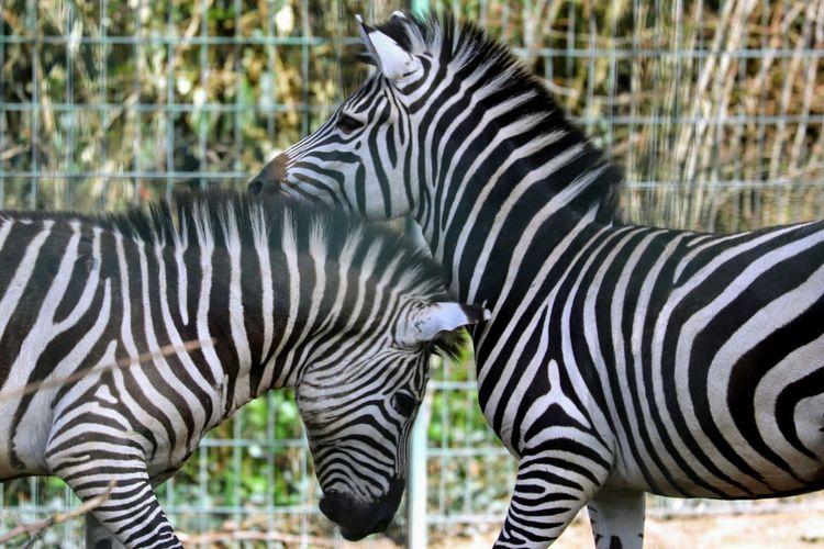 Zebra standing in a grass
