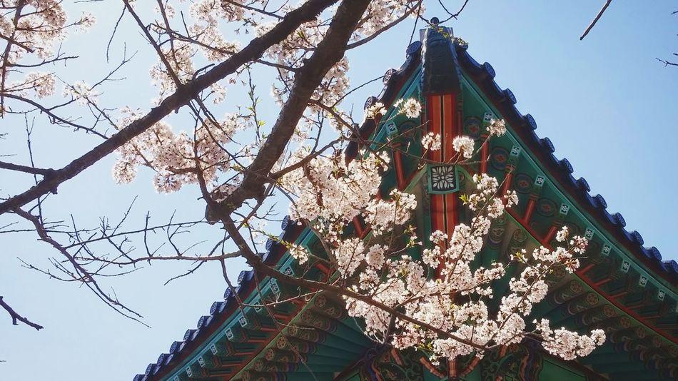 제주도에서😊 Photographic Memory Jeju JEJU ISLAND  Korea Spring Blossom Cherry Blossom 벚꽃 제주도 수학여행