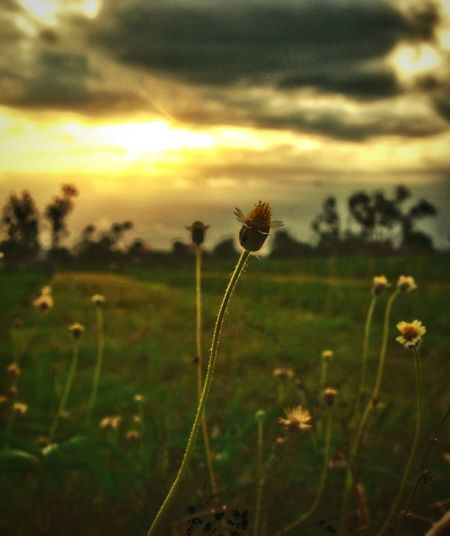 Farm Rural Scene Farm Life Sunset And Clouds  Sunset Sunset And Clouds  Sunset_captures Sunset And Clouds  Clouds And Sky Scenics Landscape Tranquil Scene Tranquility Dry Season Farmland Paddy Field Rice Field Rural Sunset Rural Sky Wildflower Grass The Week On EyeEm