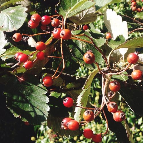 Beautifully Organized Fruit Growth Food And Drink Tree Close-up Nature Leaf No People Outdoors Food Day Healthy Eating Rowanberry