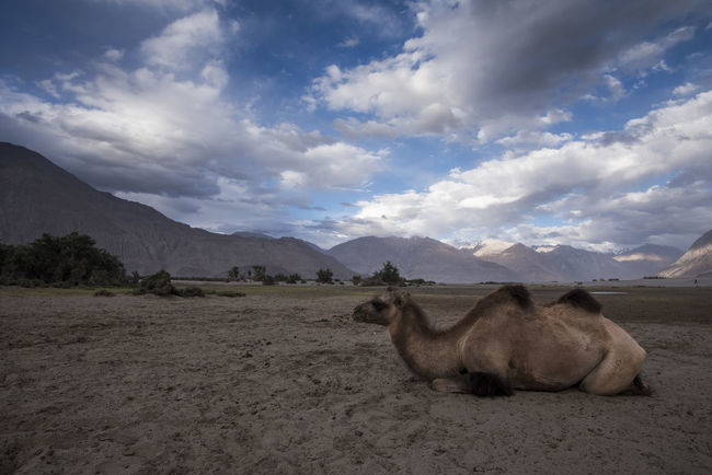 Double Humped Camel resting at Hunder, Nubra Valley Animal Themes Animals In The Wild Beauty In Nature Camel Cloud - Sky Day Domestic Animals Double Hump Camels Field Ladakh Landscape Mammal Mountain Nature No People Nubra Valley NubraValley One Animal Outdoors Scenics Sky Travel Pet Portraits