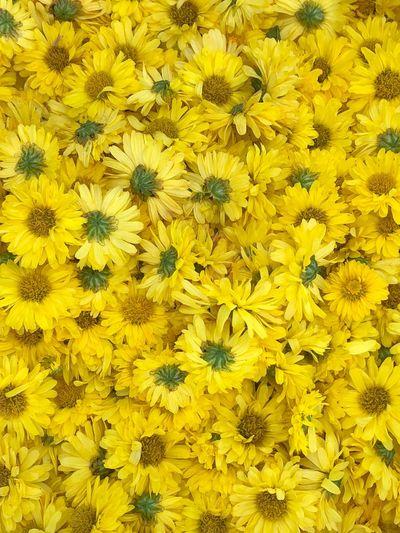 Yellow chrysanthemums for healthy beverage concept for black ground or copy space Beverages Healthy Chysanthemum Flower Yellow Backgrounds Petal Freshness Fragility Flower Head Blooming Beauty In Nature Springtime Nature Full Frame Close-up