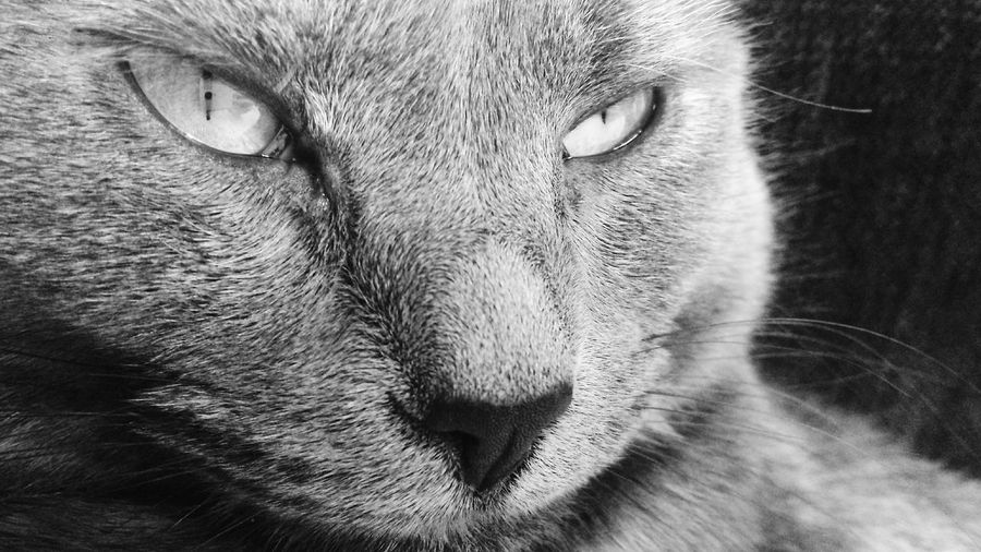 Cats Cat Blue Russian Animals Domestic Cat Blackandwhite Sleepy Animal Face Domestic Adult Animal At Home Big Cat Cat Family Animal Eye Animal Nose Snout