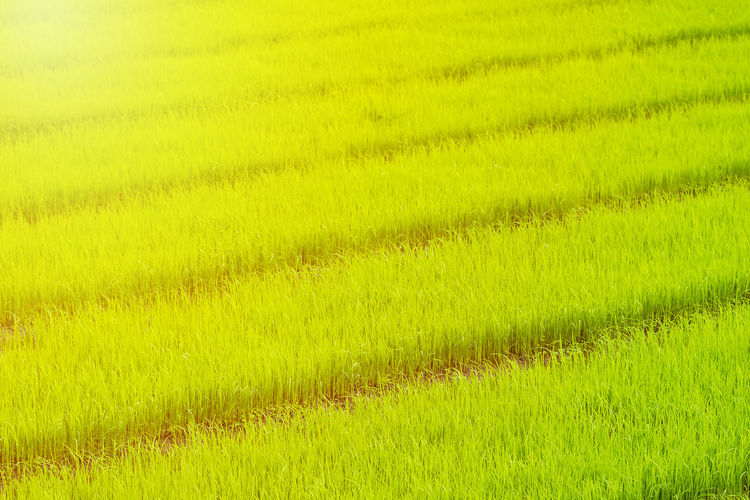Paddy rice seedling in rice field growing. Rice paddy sapling. Agriculture Beauty In Nature Crop  Environment Farm Field Gardening Grass Green Color Growth Land Landscape Nature No People Outdoors Paddy Field Plant Plantation Rice Rice - Cereal Plant Rice Field Rice Paddy Rural Scene Scenics - Nature Tranquility