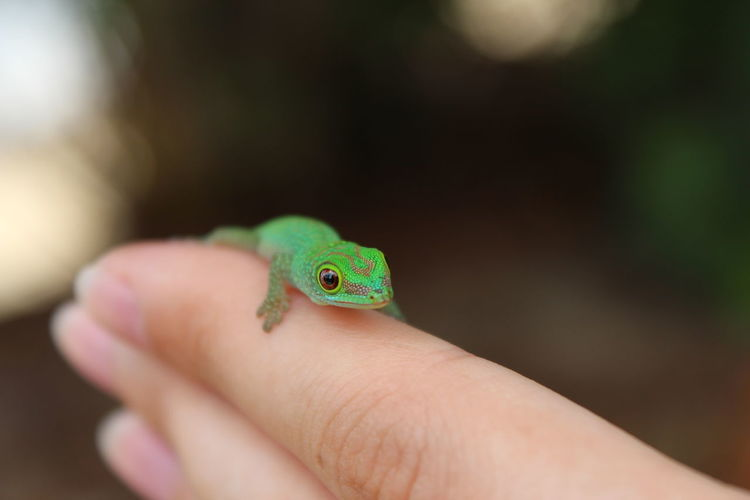 Cropped Hand Of Person Holding Small Lizard