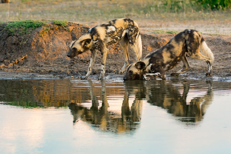 African Wild Dogs Standing At Lakeshore