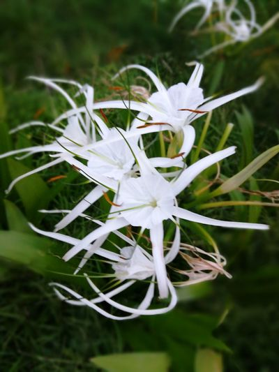 Flower Close-up White Color Nature Day No People Flower Head Outdoors Fragility Beauty In Nature Freshness