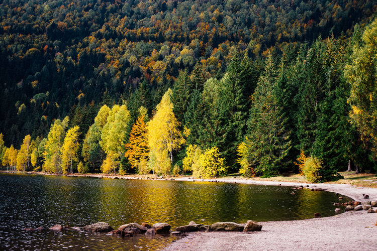 Scenic view of pine trees by lake in forest