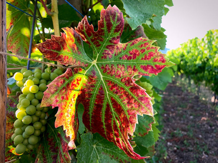 Close-up of grapes growing on plant during autumn