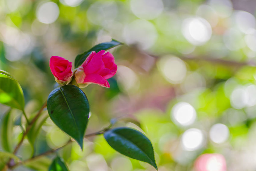Plant Beauty In Nature Flowering Plant Flower Vulnerability  Fragility Plant Part Petal Close-up Freshness Focus On Foreground Leaf Growth Nature Pink Color No People Green Color Flower Head Day Inflorescence Outdoors