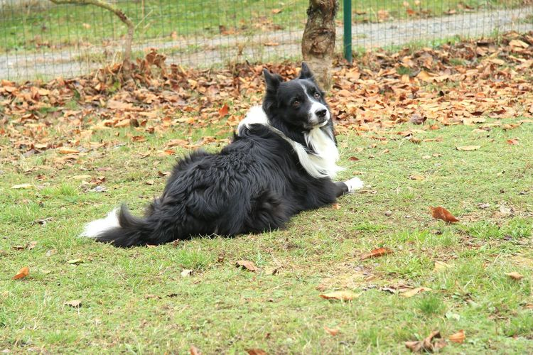 Bruno says hi to all of you 😁 Autumn Grateful Border Collie Autumn Leaves autumn mood Lazy Day Dog Bestfriend Gratitude Love Weekend Pets Black Color Animal Themes Grass
