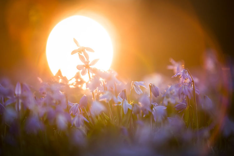 Flowering Plant Flower Plant Nature Beauty In Nature Selective Focus Sun Sunset Growth No People Sunlight Tranquil Scene Land Tranquility Fragility Rural Scene Springtime Bright Spring Spring Flowers Glory Of The Snow Gloryofthesnow Glory-of-the-snow Chionodoxa Backlight Capture Tomorrow