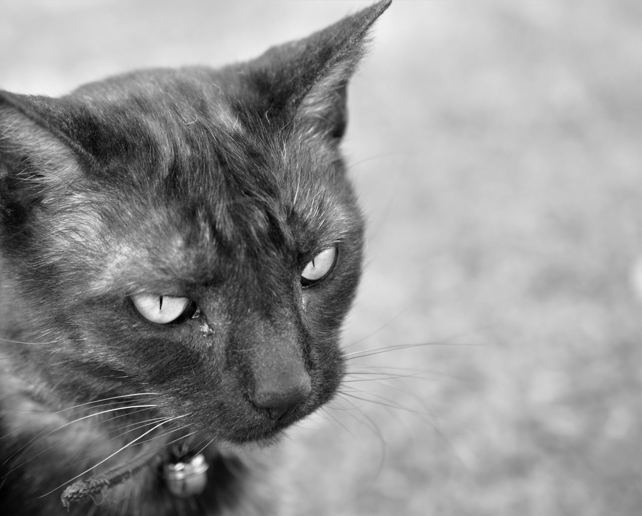 one animal, animal themes, domestic cat, mammal, feline, focus on foreground, close-up, domestic animals, animal head, whisker, no people, pets, day, outdoors