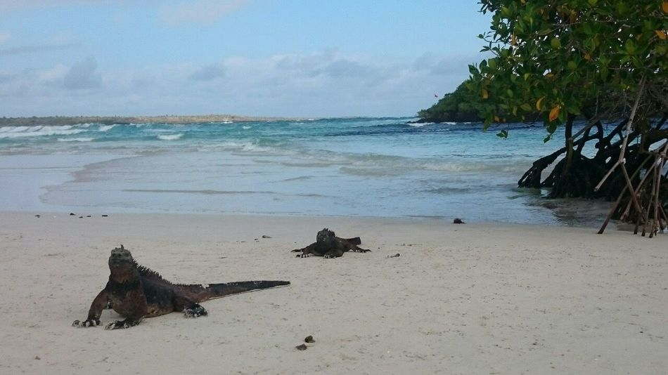 Adventure Buddies Galapagos Islands Iguana Holiday Hanging Out Check This Out Ecuador♥ Ecuador Fun