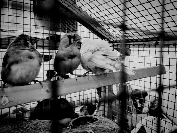 Prisoners Birdcage Bird Free The Birds Now Prison Cell Black & White Blackandwhite Black And White Blackandwhitephotography Birds_collection Caged Cagedwings