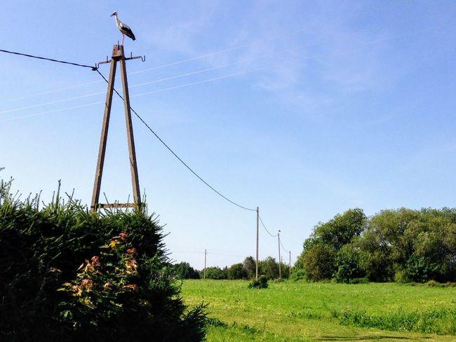 Stork Storks Nest Stork Nest Storks In The Wild Telephone Line Tree Bird Sky