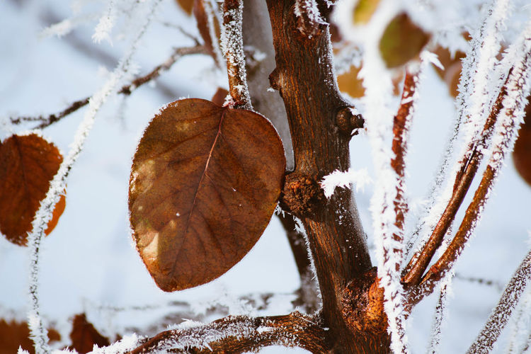 Cold Temperature Winter Snow Frozen Close-up Plant Part Ice Leaf Nature Focus On Foreground No People Plant Day Beauty In Nature Frost Dry Tree Brown Outdoors Change Leaves Icicle