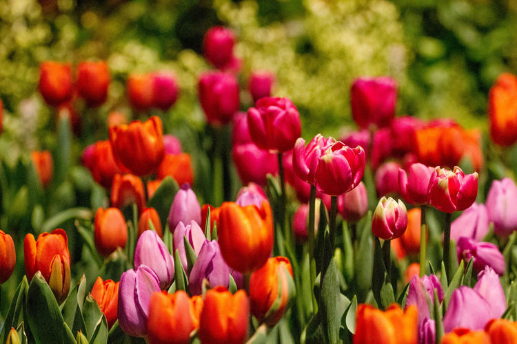 Close-up of tulips blooming in park