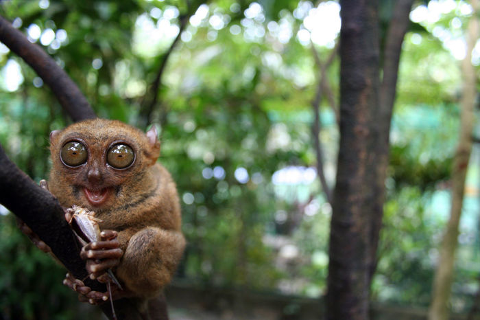 Ape Bohol Eating Hungry Monkeys Munchies Pet Portraits Philippines Animal Themes Animal Wildlife Animals In The Wild Close-up Day Focus On Foreground Mammal Monkey Nature No People One Animal Outdoors Tarsier Tarsiers Tree Wildlife Primate