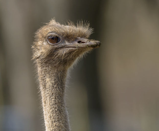 Ostrich Closeup Portrait. Animal Animal Body Part Animal Eye Animal Head  Animal Neck Animal Nose Animal Themes Animal Wildlife Animals In The Wild Beak Bird Close-up Day Focus On Foreground Looking Looking Away Nature No People One Animal Ostrich Outdoors Portrait Vertebrate