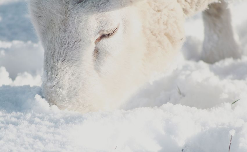 Lashes on fleek 🐏 - MÄH. Winter Wintertime Snow Snowing Nature Nature_collection Outdoors Cold Sheep Focus Sunday White Simplicity Taking Photos Shootermag EyeEm Best Shots EyeEm Nature Lover