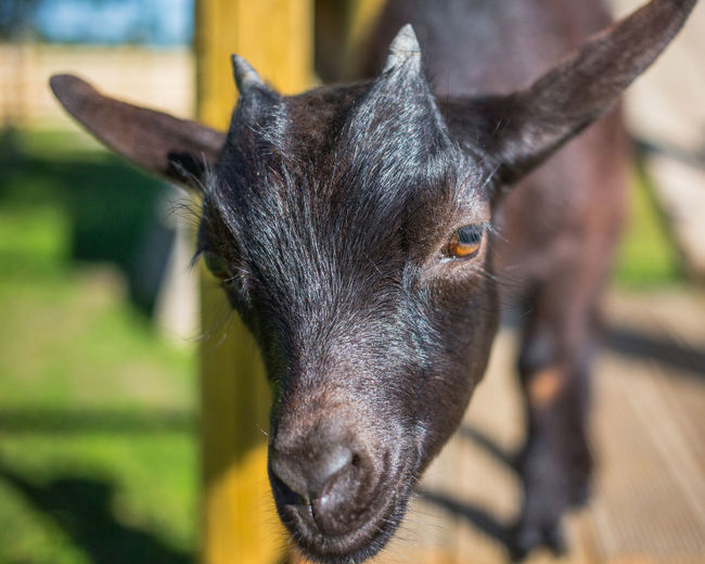 African Goat Farm Goat Goats Green Sunny Animal Themes Close-up Cute Day Domestic Animals Focus On Foreground Friendly Mammal Mini African Goat Nature No People One Animal Outdoors Playful Portrait Small Summer