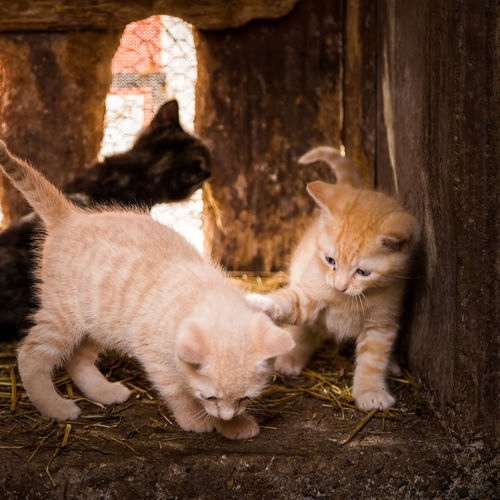 Aniamls Animal Animal Family Animal Photography Animal Themes Animal_collection Cat Cat Lovers Cats Cats Of EyeEm Cats 🐱 Cute Domestic Animals Domestic Cat Kitten Kittens Kitty Pets Square Whisker Young Animal