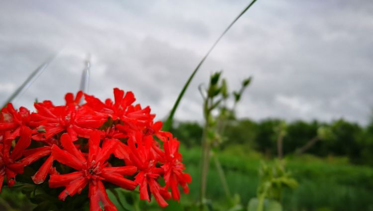Red Flower Nature Beauty In Nature Growth Plant No People Outdoors Day Red Flower Fragility Freshness Close-up Flower Head Sky Przyroda Flora Life Litwa Lietuva Lithuania Plant Beauty In Nature