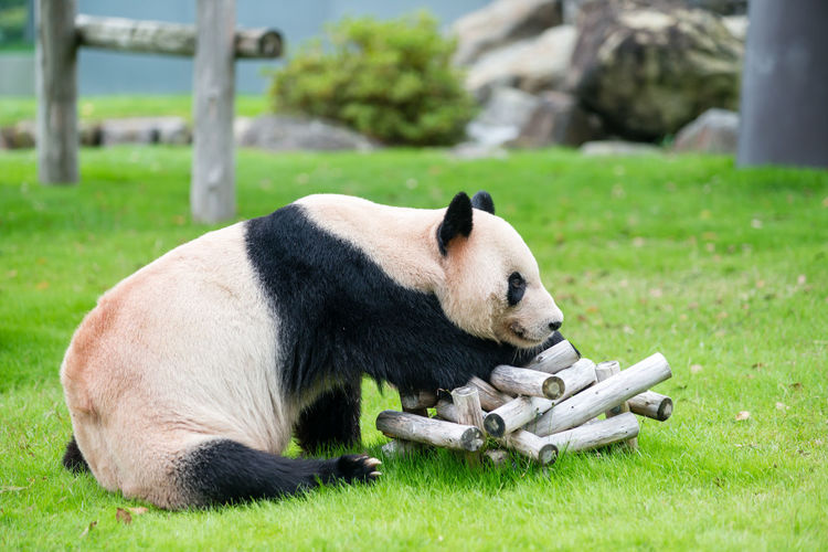 Side view of giant panda sitting on field