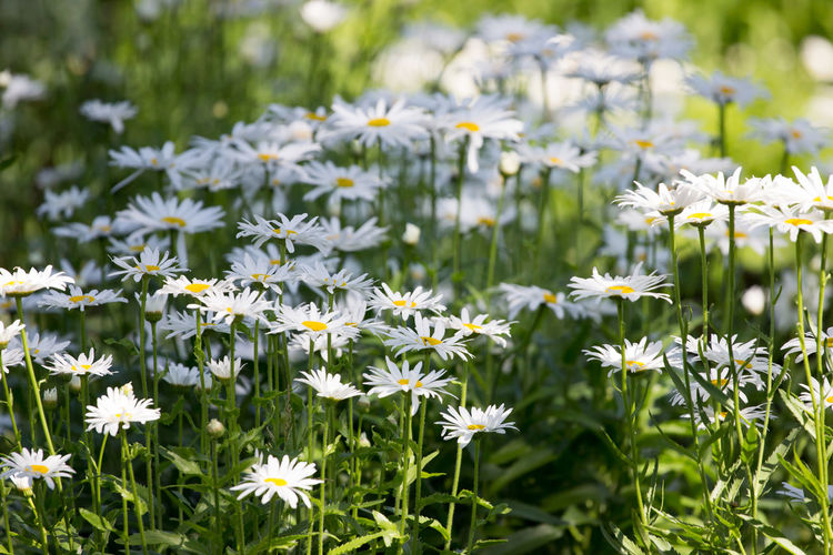 Daisy Flowering Plants On Field