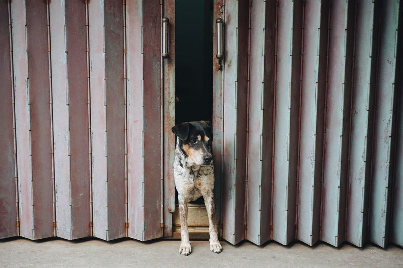 Pets Animal Themes Domestic Animals Dog Mammal One Animal Full Length No People Portrait Day Outdoors Resist Break The Mold Pet Portraits