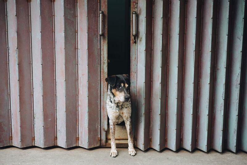 Dog standing between doors