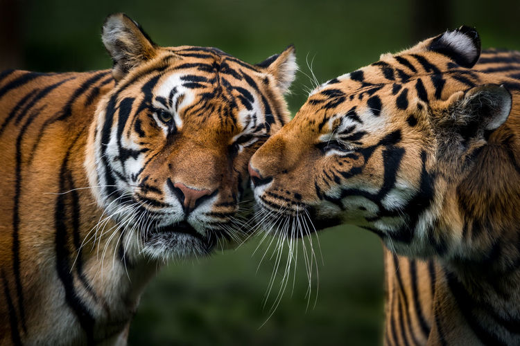 Close-up portrait of tigers