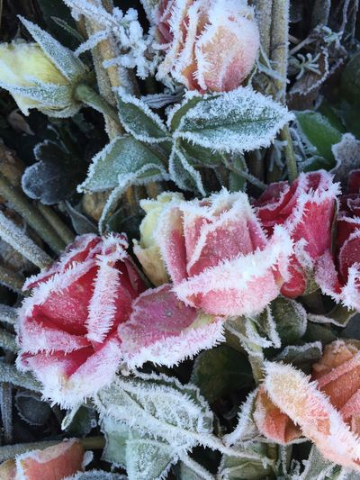 Freezing Roses Winter Netherlands Nofilter