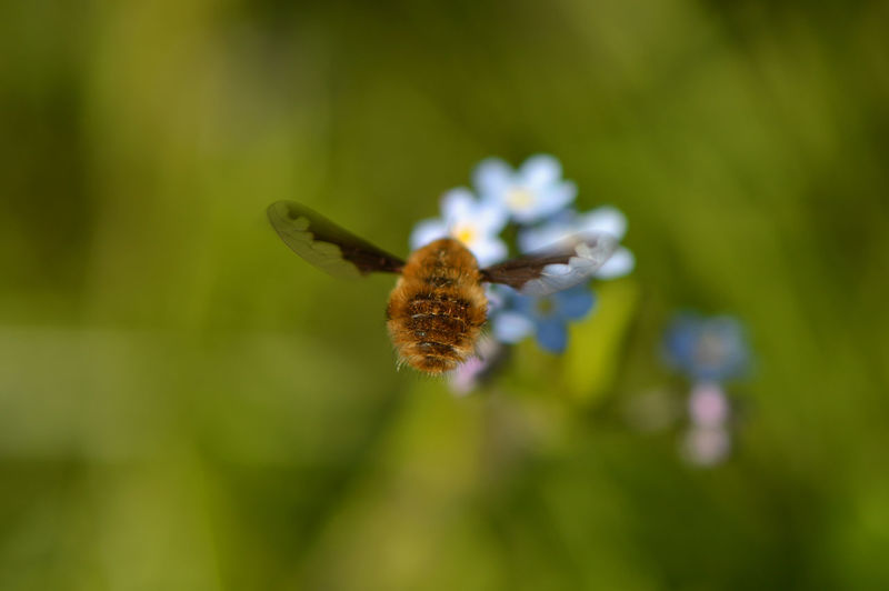 Third person view of a bee fly, collecting nectar from a forget-me-not... Flower Nature Fragility Insect Plant Beauty In Nature No People Freshness Growth Outdoors Day Focus On Foreground Close-up Animals In The Wild Flower Head Animal Themes Wollschweber Bee Fly Forget-me-not Macro Macro Insects In Flight Rear View Capturing Movement Resist