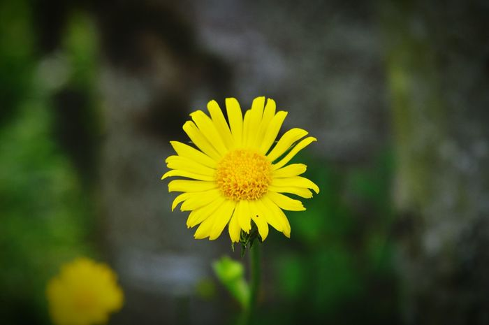 A photo my son took out on a walk :) Flowerporn Yellow Daisy ♥ Summertime