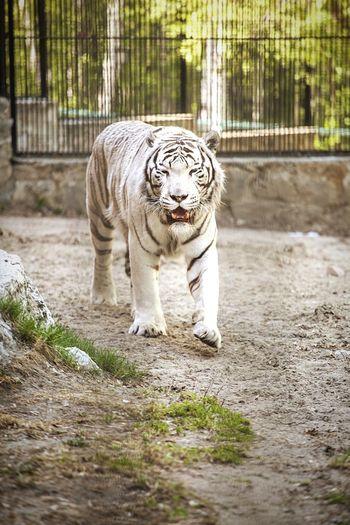 White tiger walking in zoo