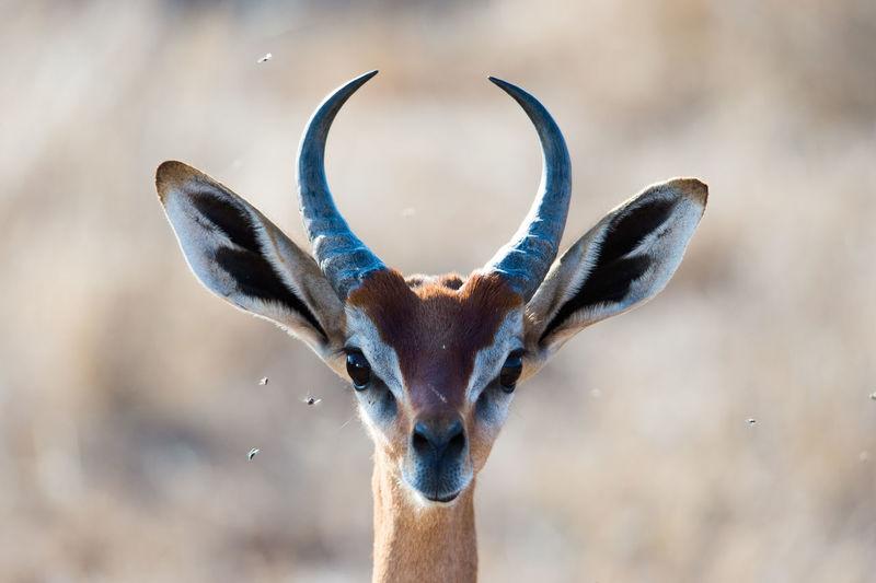 Close-up portrait of a gazelle