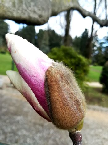 Spring is coming Blossom Springtime Spring Flowers Bud Magnolia Magnolia Tree Flower Flower Head Close-up In Bloom Plant Life Botany Blooming Fragility New Life Growing Petal Single Flower