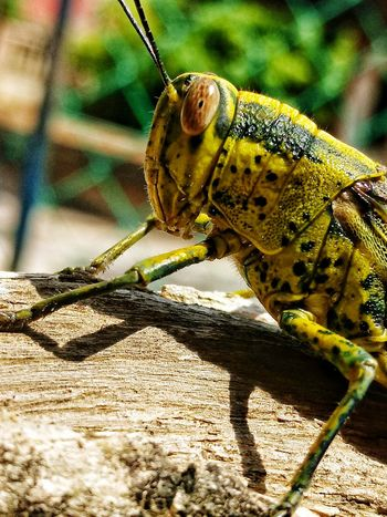 Animals In The Wild Insect One Animal Animal Themes Close-up Grasshopper Animal Wildlife Day Outdoors Nature Belalang HEAD