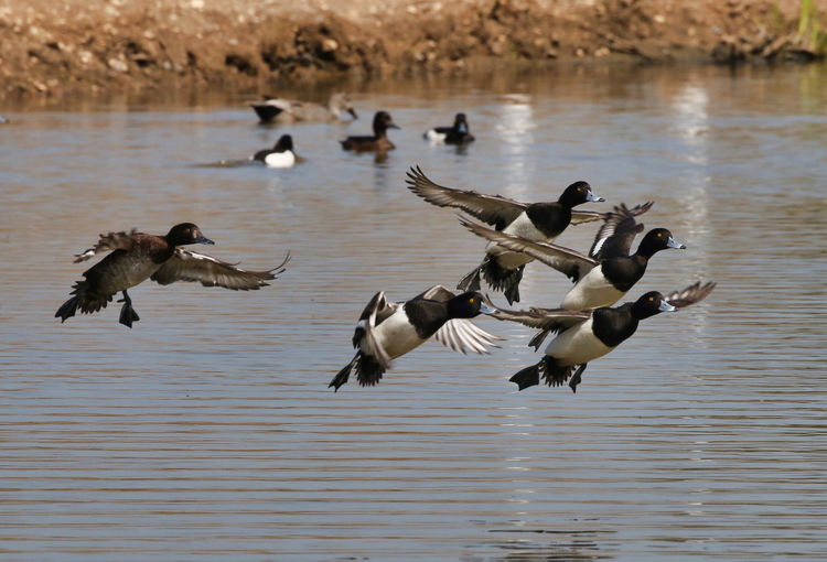 Tufted Ducks coming in land Animal Animal Themes Animal Wildlife Animals In The Wild Beauty In Nature Bird Day Flock Of Birds Flying Focus On Foreground Group Of Animals Lake Large Group Of Animals Nature No People Seagull Spread Wings Vertebrate Water Water Bird Waterfront