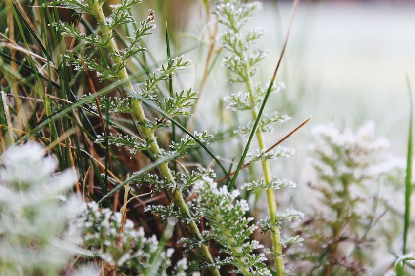 Plant Nature Growth Close-up Outdoors Green Color Beauty In Nature Frosty Mornings Freshness No People Freezing Cold Winter Wonderland Frosty Ice Peaceful The Great Outdoors - 2017 EyeEm Awards