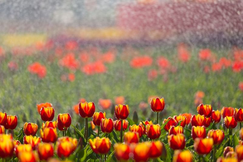 tulip Flower Flowering Plant Plant Beauty In Nature Freshness Growth Fragility Field Flower Head Close-up No People Selective Focus Tulip Flowerbed