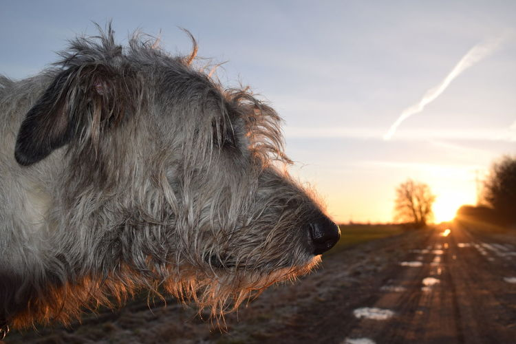 Sky Animal Themes One Animal Domestic Animals Outdoors Winter 2017 February 2017 How Is The Weather Today? Shadow And Light Beauty In Nature Silhouette Sunbeam Sun Sunrise Cearnaigh Bokeh Dogslife Sunlight Irish Wolfhound Dogs Of EyeEm Dog Of The Day Dogs Of Winter Dogwalk Nature Animal Head